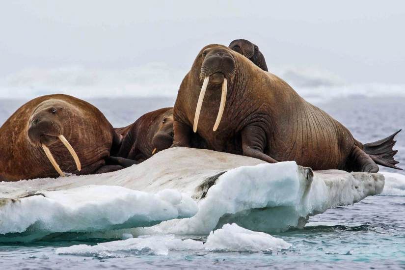 Arctic Wildlife and Cultural Cruise tromso walrus