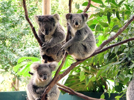 lovely koalas in Lone Pine Koala Sanctuary