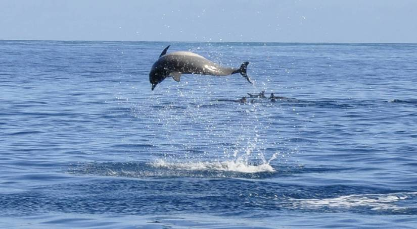 a dolphin at Mauritius sea