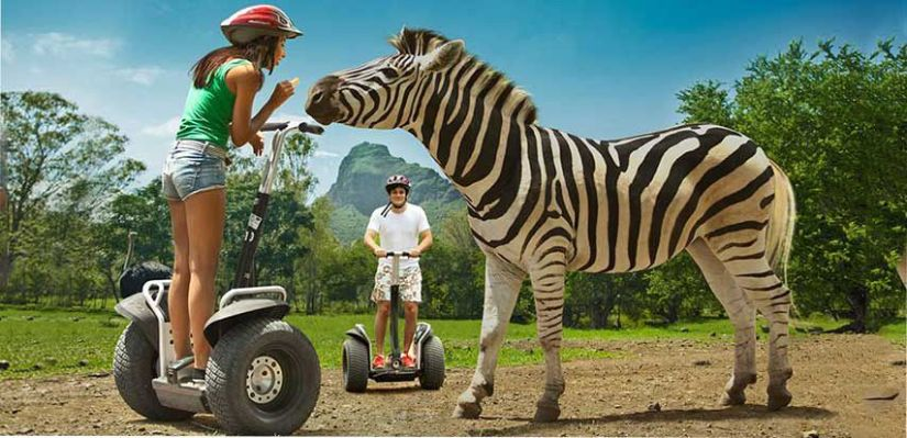 a girl rides segway and feeding for a zebra