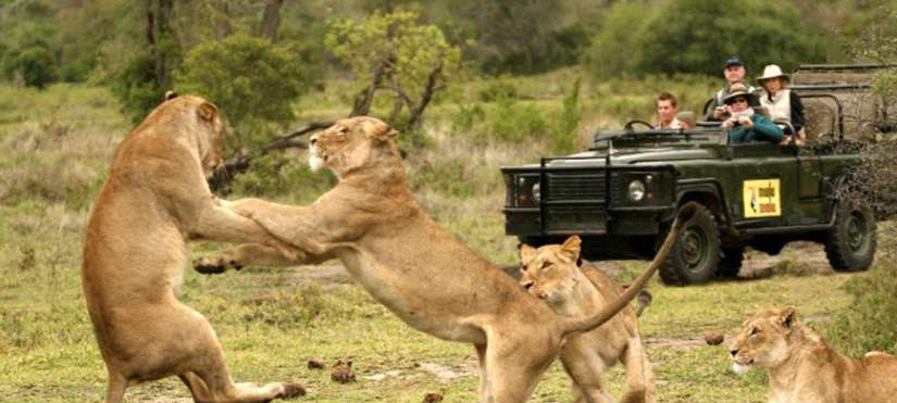 two lions in Aquila Safari fight in front of guests