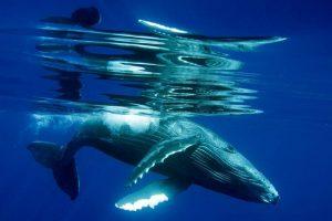 Baja California Laguna San Ignacio balene