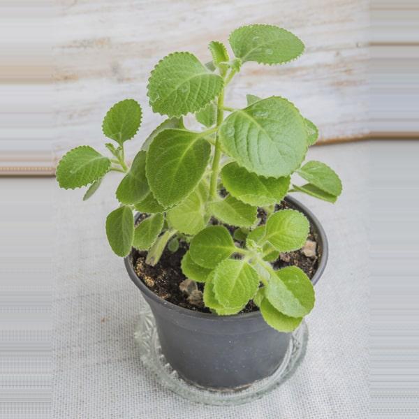 Carom / Ajwain: Medicinal plants In India