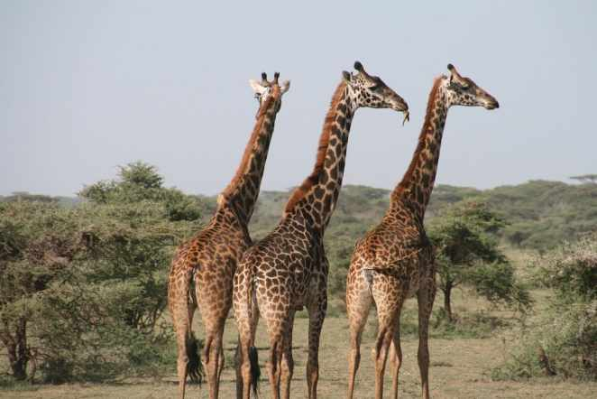 Giraffes are the tallest land animals