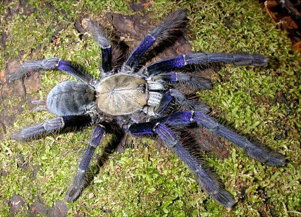 Singapore Blue Tarantula