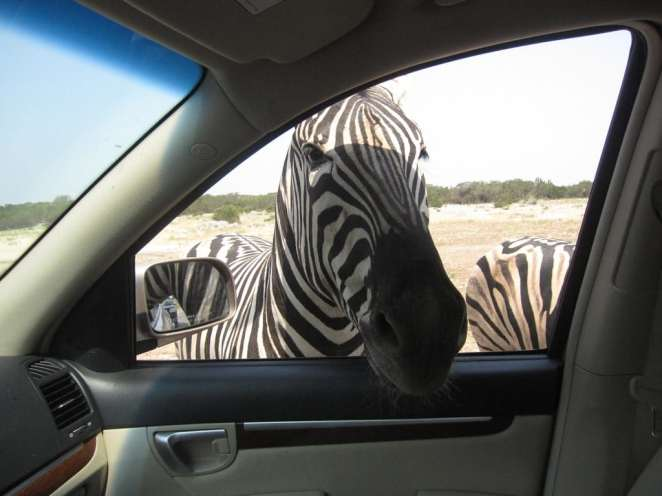 Zebra at natural bridge wildlife ranch