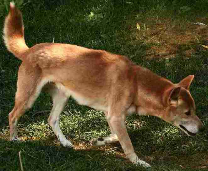 New Guinea Singing Dog on trail-Cropped