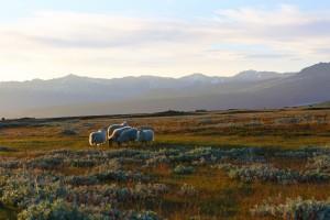خراف آيسلندا