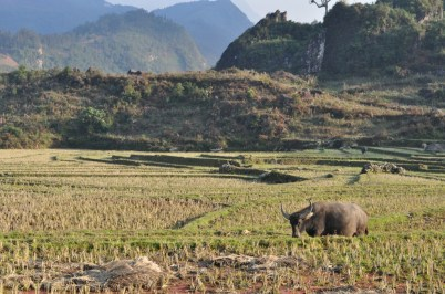 Landscape in Sapa with water buffalo