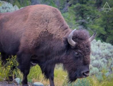 buffalo close up