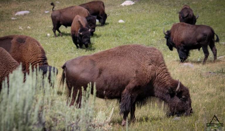 yellowstone-buffalo1-4-trip