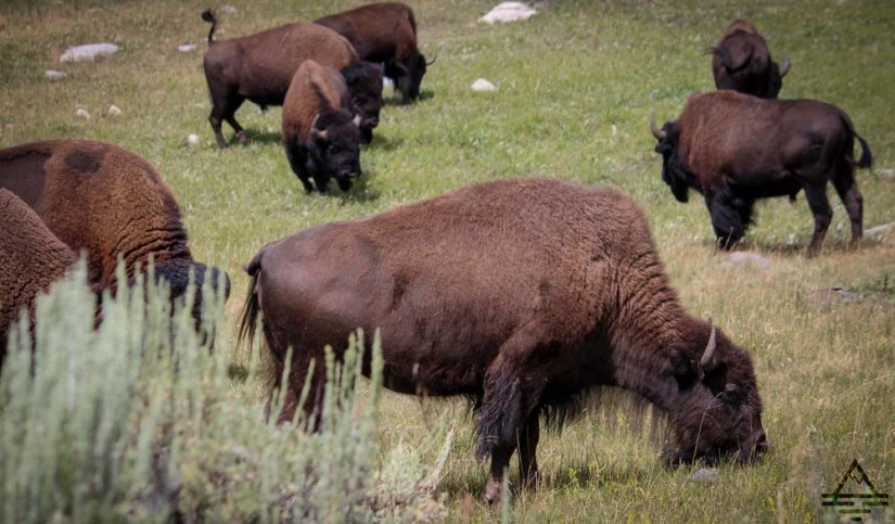 yellowstone-buffalo1-4-trip