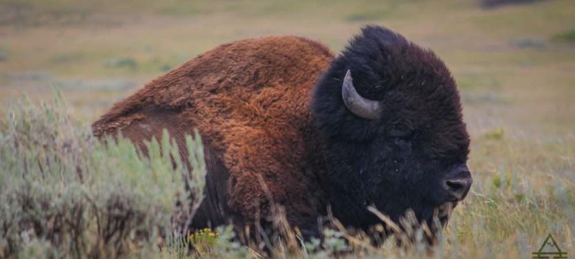 Spotting Buffalo in Yellowstone National Park