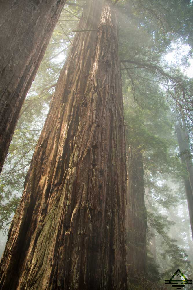 Redwood Trees in Redwood National Park