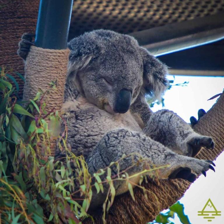 San Diego Zoo Koala