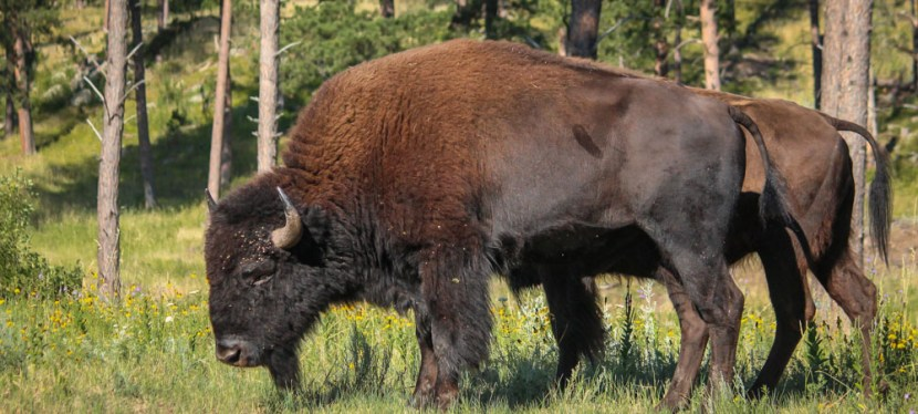 Fun Fact: The Custer State Park Buffalo Herd