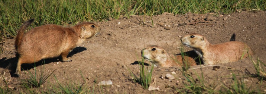 Wind Cave National Park Prairie Dogs