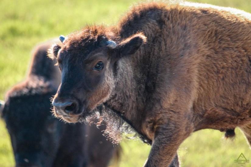 Wind Cave National Park Bison
