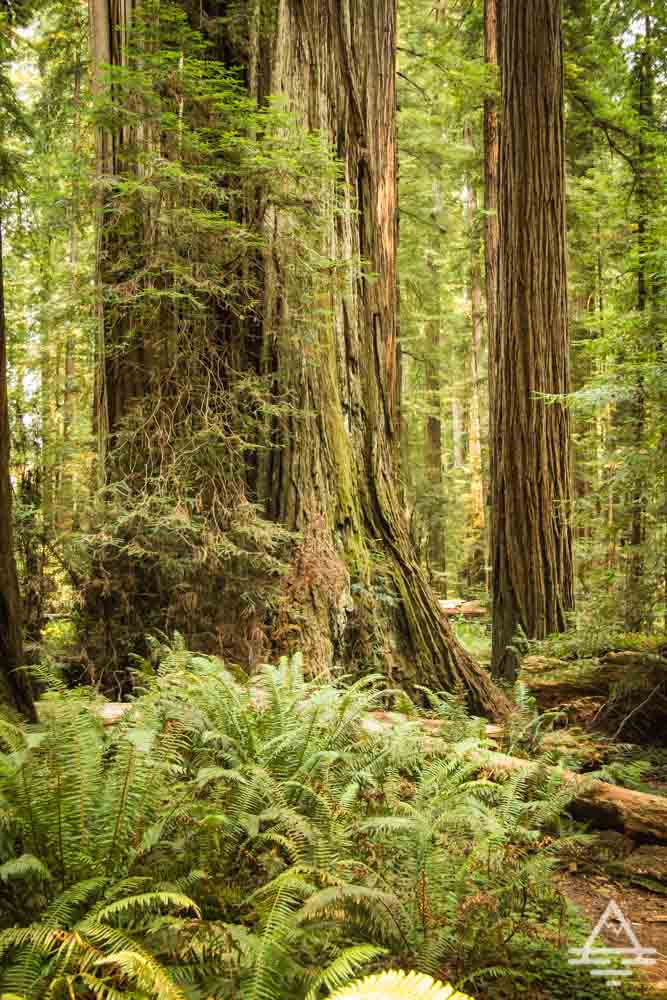 Redwoods Must See Stout Grove Trail