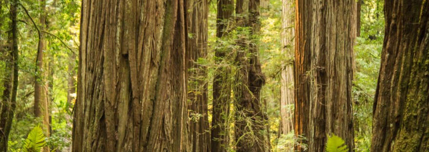 Redwood National Park Stout Grove