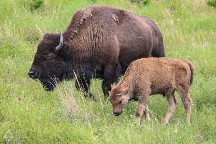 Adult and Baby Buffalo in Custer State Park