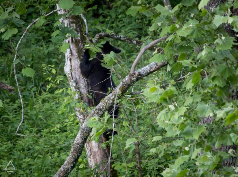 Black bear in a tree in Cades Cove in Great Smoky Mountain National Park