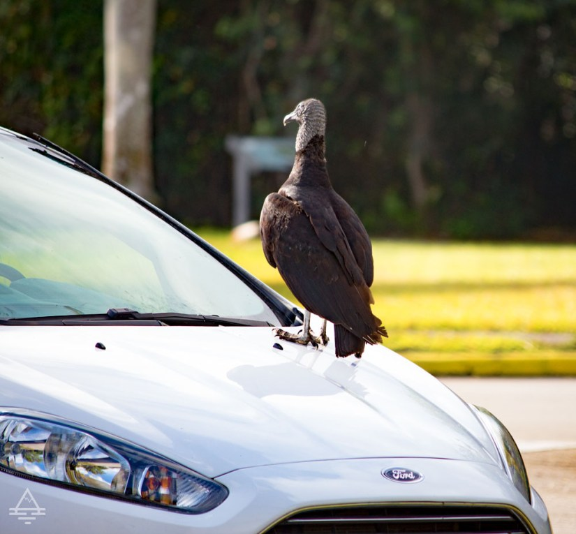 Vulture Sitting on a Car