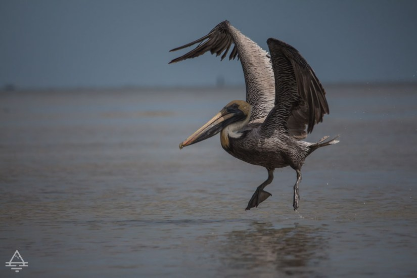 Pelican landing in the water in Everglades National Park