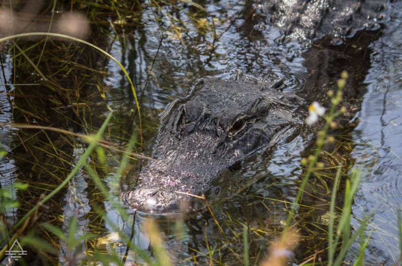 Alligator in the water in Everglades National Park