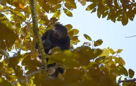 black howler monkey, Titi Canopy