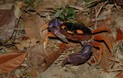 halloween land crab, MA