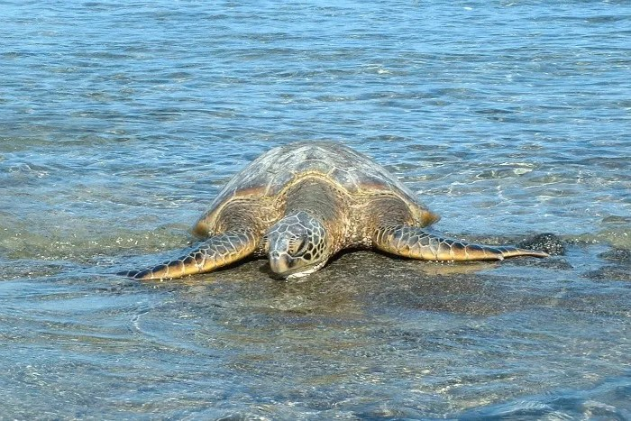 Best Family Resorts in Hawaii - Turtle