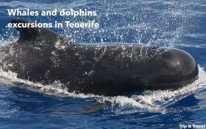 Tenerife, whale watching, excursions, excursiones, ballenas, delfines, dolphins, Spain, Canary Islands, Islas Canarias, Playa de las Américas, España