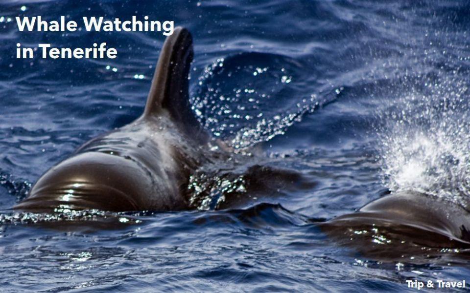 Tenerife, whales and dolphins, trips, excursions, watching, Spain, Canary Islands, Islas Canarias, excursiones, ballenas delfines, dolphins, Playa de las Américas