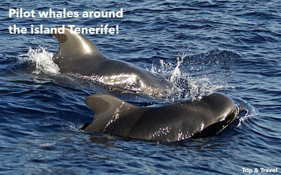Tenerife Dolphins and Whales, tours, trips, excursions, Playa de las Américas, cheap, events, reservations, restaurants, Puerto Colón, Puerto de la Cruz, hotels, tickets