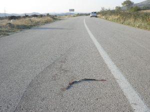 pregažena zmija