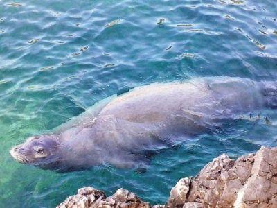 Sredozemna medvjedica pliva i uživa: prošlog vikenda snimljena kod Pule