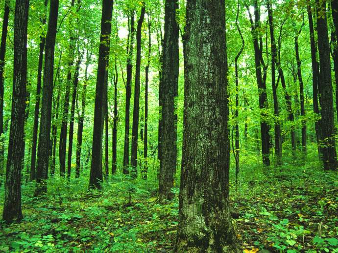 zelena šuma