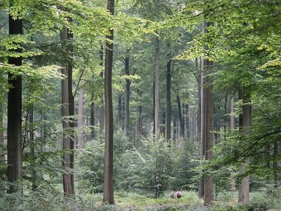 šuma1
