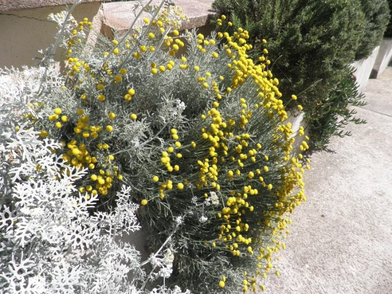 Berači smilja zavladali Dalmatinskim kršem – Za kilogram cvjeta smilja berač dobije 9-10 kuna – Hrvatska godišnje od izvoza raznog bilja inkasira 10 milijuna US dolara