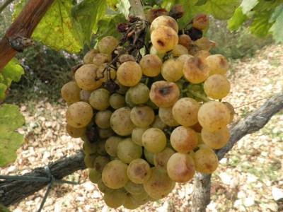 Trulež u vinogradima, tuga u srcu vinogradara…