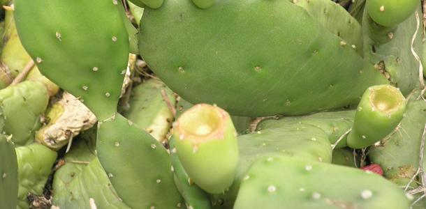 Indijska smokva ili opuncij (kaktus) – bodljikavi specijalitet i ukusni lijek…