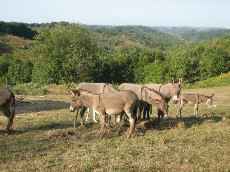 Magareći rezervat: Severina i Rajka najbolje trkačice i mlikarice – magareće mlijeko liječi više bolesti
