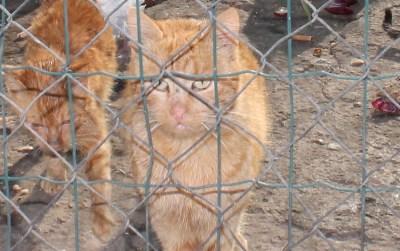 Humani genocid: Općina Tisno besplatno sterilizira mačke