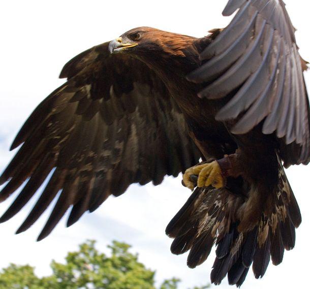 Zlatni orao u letu (foto Wikipedia)