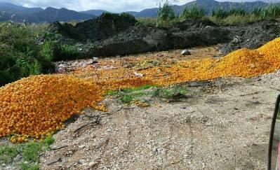Odbačene mandarine u Opuzenu (foto: Ana Musa)
