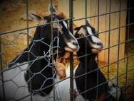 Koze u ZOO-u bez papira (foto TRIS/G. Šimac)
