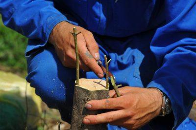 Park prirode Vransko jezero poziva na besplatnu edukativnu radionicu o cijepljenju maslina