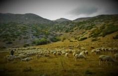 Ovce (foto TRIS/G. Šimac)