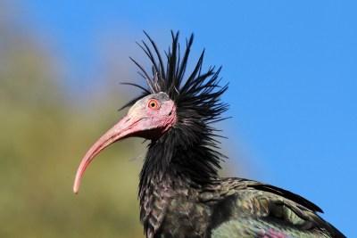 Ćelavi ibis ( foto LIFE Northern)
